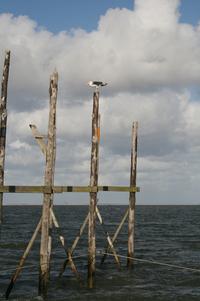 seagull at texel
