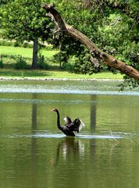 Black Swan Flight