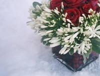 Winter Roses 1