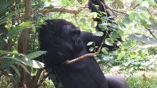 Gorilla - King Kong 2