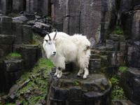 mountain goat 1