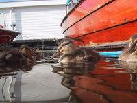 baby ducks in marina