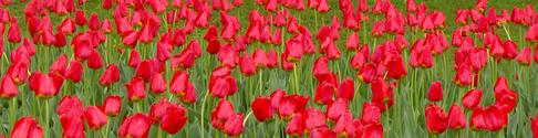 Ottawa Tulip Festival 23