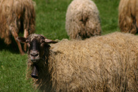 sheep2 4
