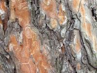 Tree rind 2