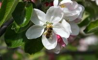Bee on apple tree