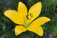 Yellow lilium