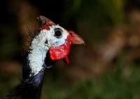 Helmeted Guinea Fowl 1