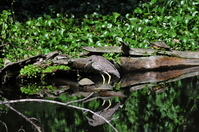 Black-crowned Night-Heron Reflecting