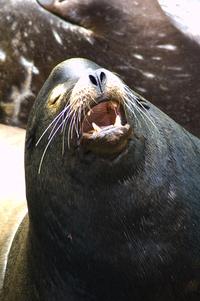 Barking Sea Lion 1