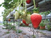 Strawberries... 2