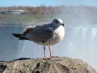 Seagull in Niagara Falls