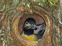 woodpecker_ 1