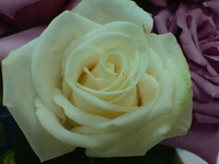 Yam Roses 4