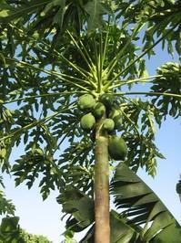 Papaya tree 1