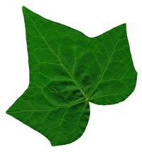 Ivy Leaf 2