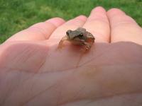 I am a little frog