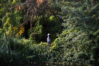 A heron, well camouflaged against the autumn foliage.