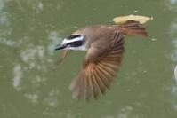 Benteveo flying