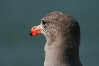 Sea gull at Pier 39