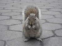 New York Squirrel 2