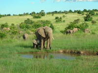 Wild Elephants - Masai Mara - Kenya