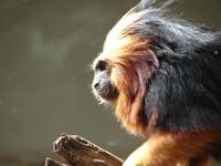 mico leao dourado