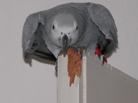 Coco te Parrot 4