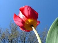 Underside of Tulip