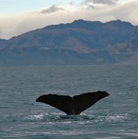 Sperm whale dives 7