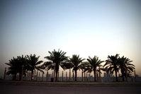 date trees in kuwait