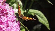Tortoiseshell Butterflies on Buddleia