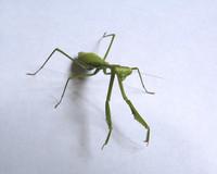 Green Praying Mantis 2
