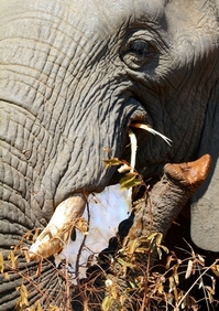 "African Elephant (Trunk ""hand"") 5"