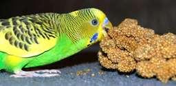 Bird verses Millet