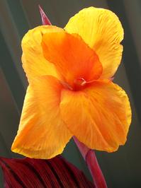 Cana Lily 1