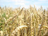 Grain, weed