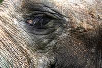 Asian Elephant Close-ups 1