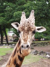zoo giraffe 1
