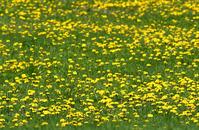 Dandelion Field 1