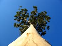 Rising Tree