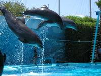 Dolphins In Flight