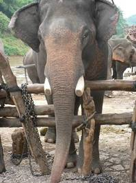 Elephant near Chiang Rai
