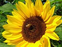 bee&sunflower