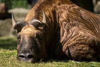Sleeping Bull