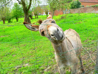 siley donkey 1
