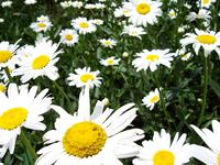 Daisy Marguerite 2