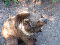 Bern Bear