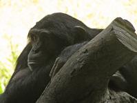 Thought-Filled Chimpanzee