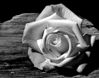 Rose and driftwood